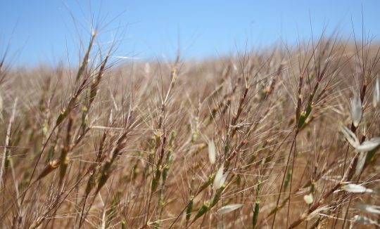 Barbed goat grass